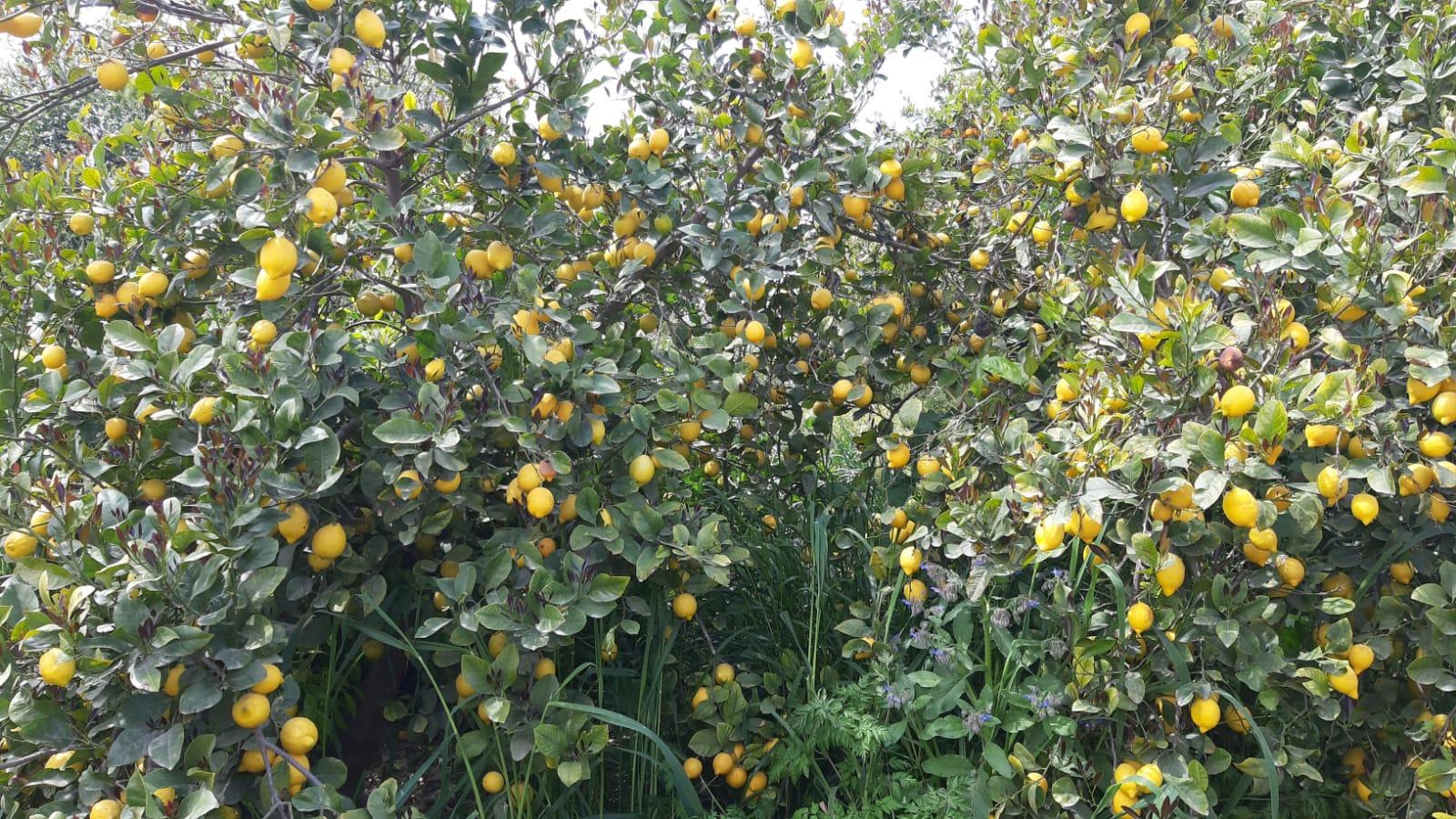 Campos de limón con limones en las ramas