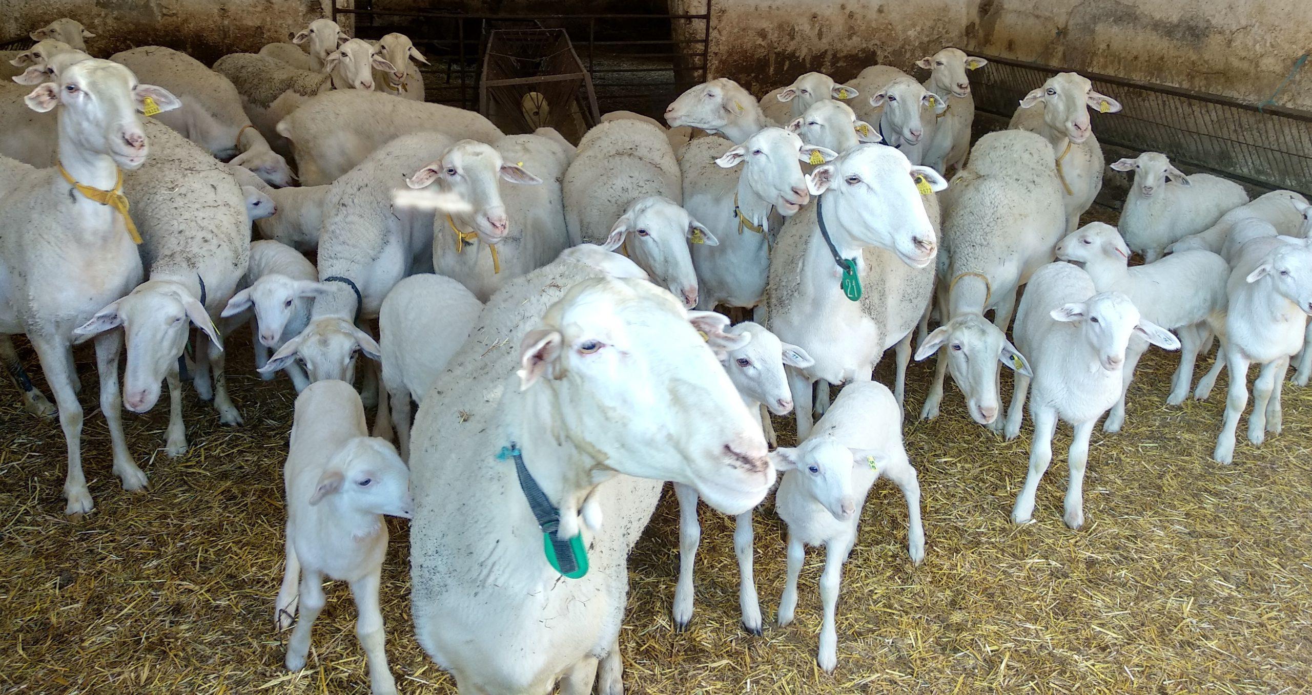 Ovejas y corderos en la granja