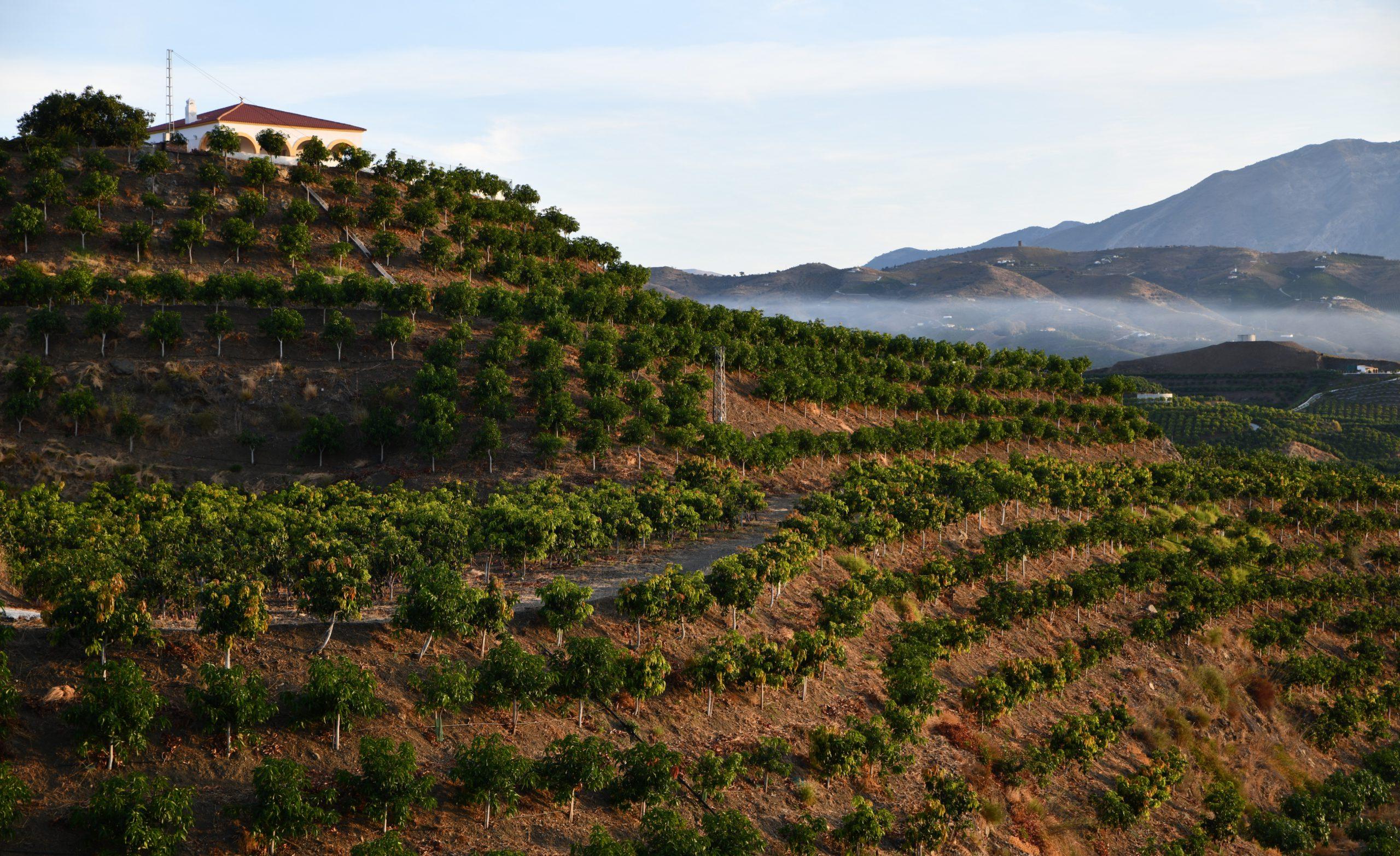 Campos de árboles de mango en España