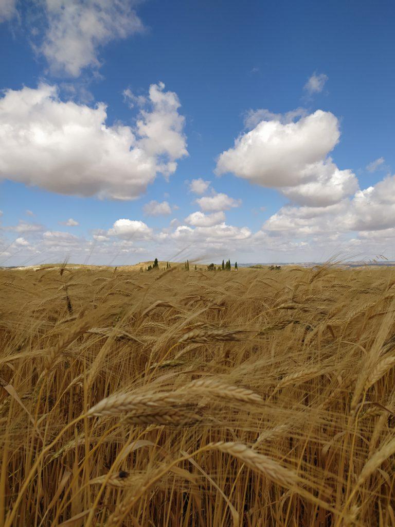 Un campo de espigas de trigo con un cielo azul y nubes