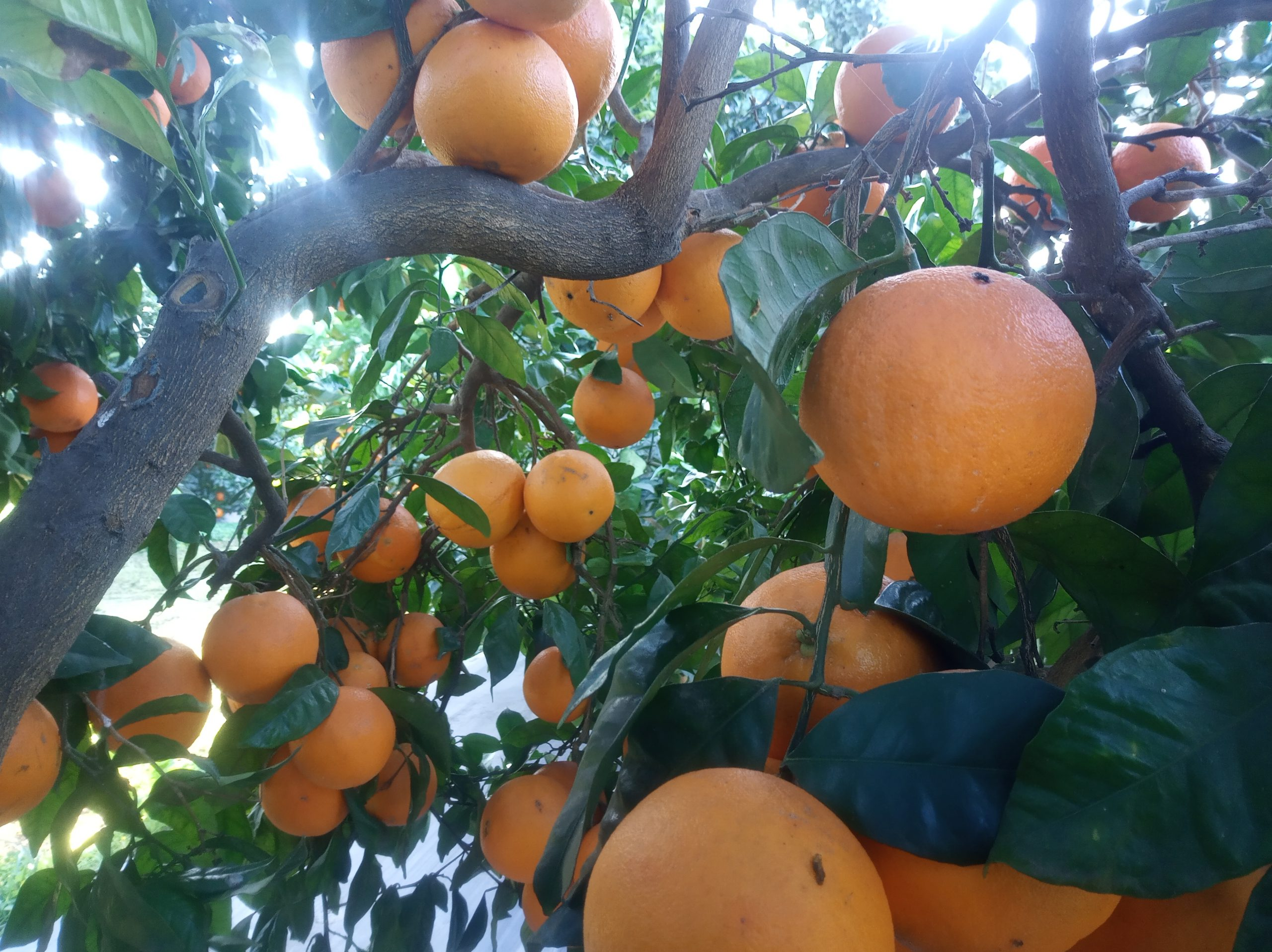 Navel oranges hanging from a tree