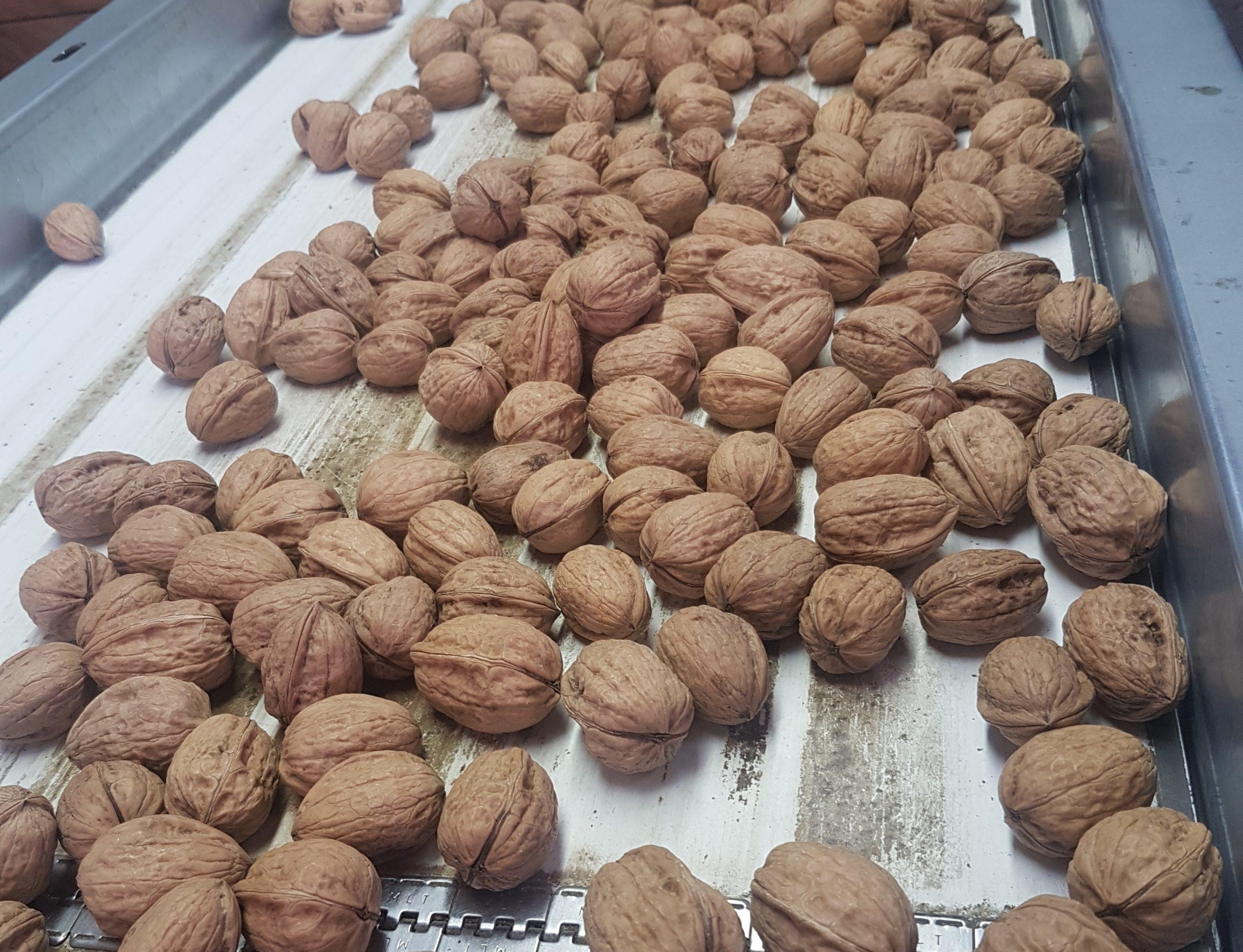 Walnuts on a conveyor belt