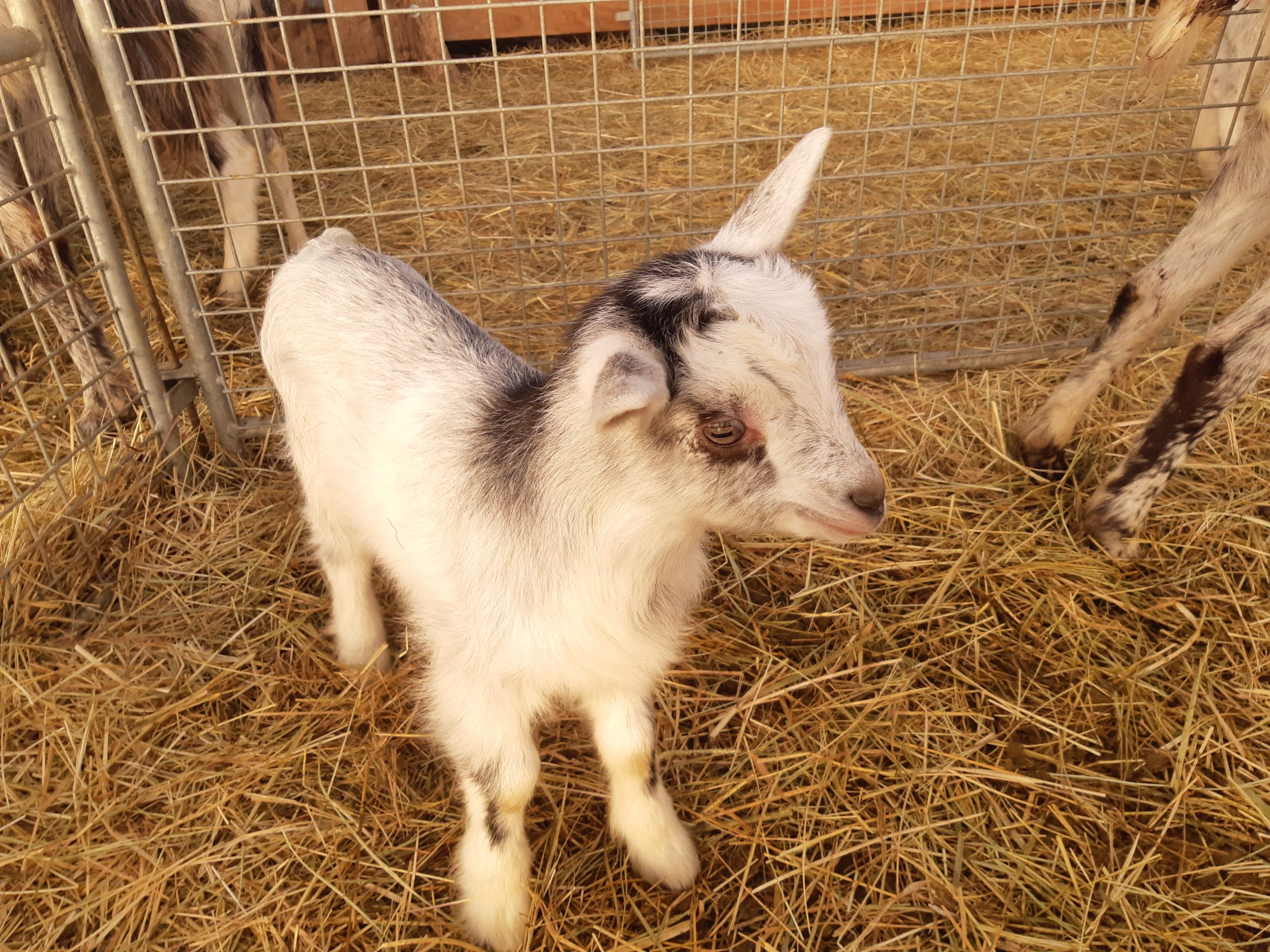 A baby goat in the hay