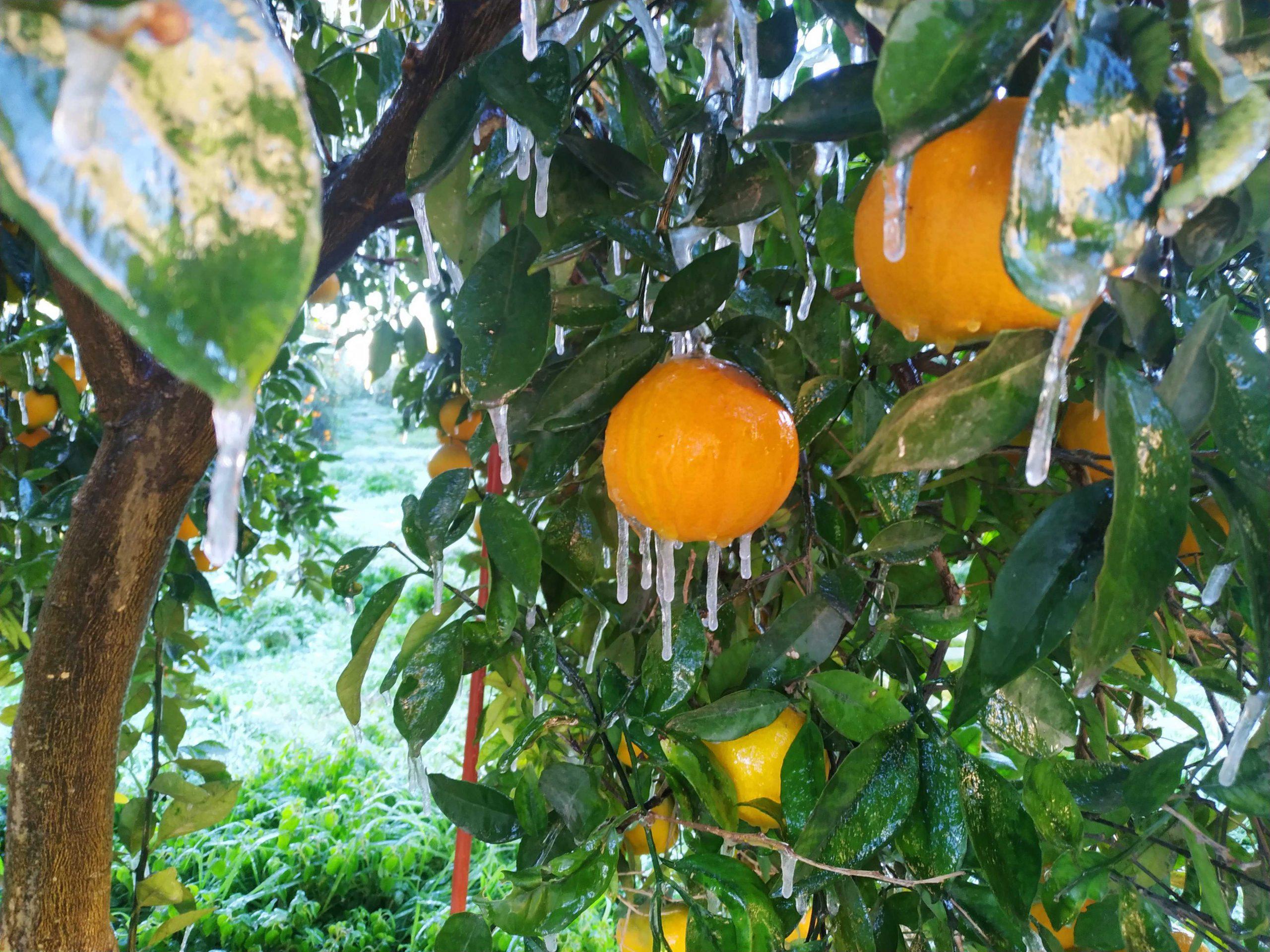 Frozen oranges on an orange tree