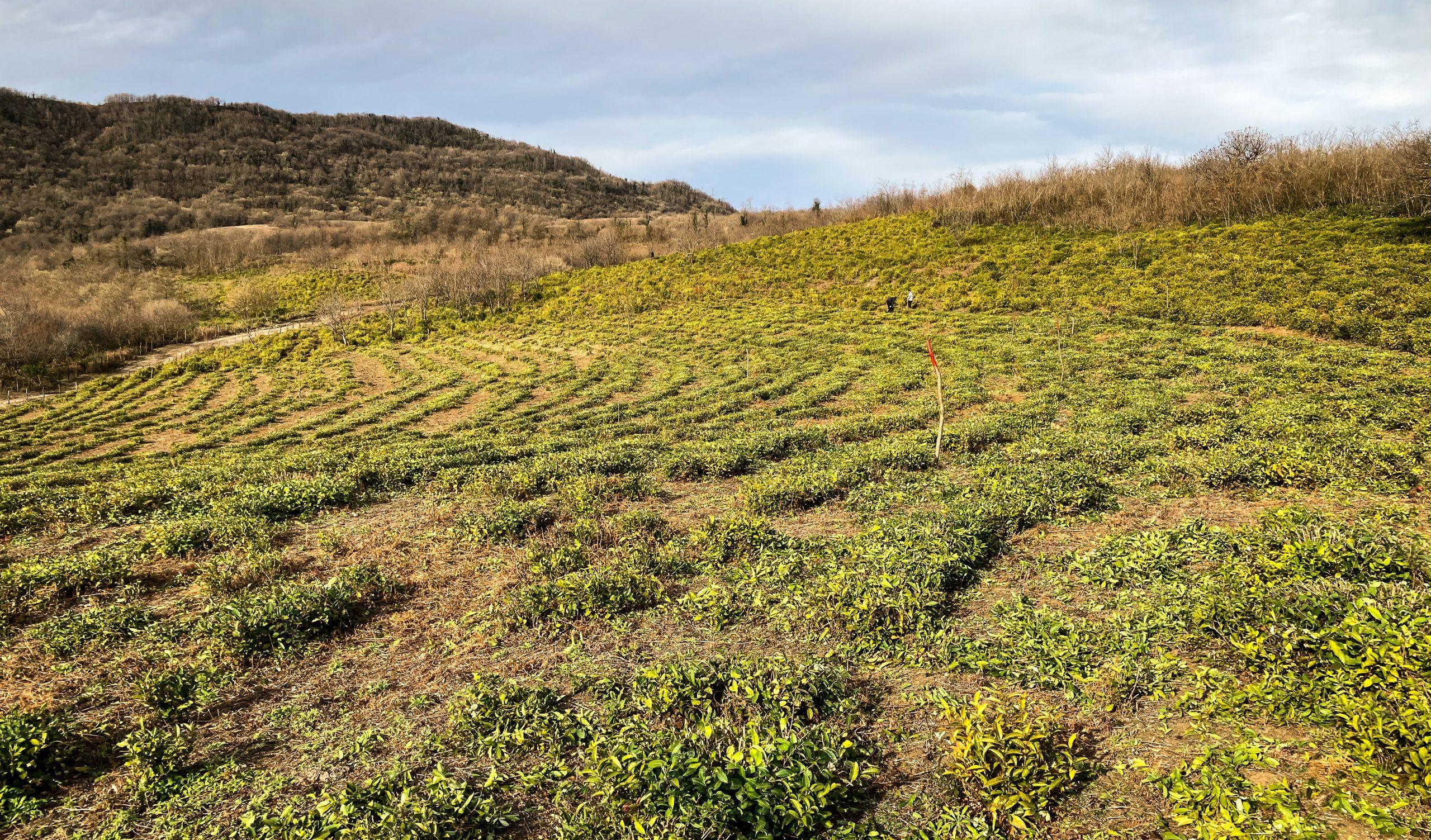 A field of green tea in Georgia