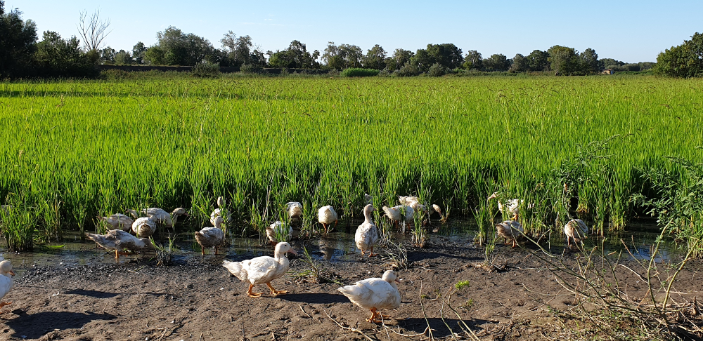 Ducks in the rice fields of the Camargue