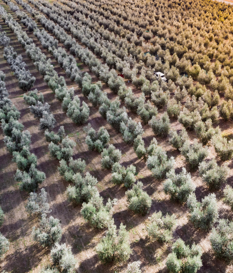 A field of olive trees seen from the sky with a car