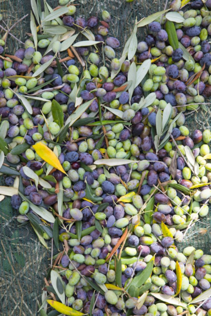 Green and black olives on the ground with leaves