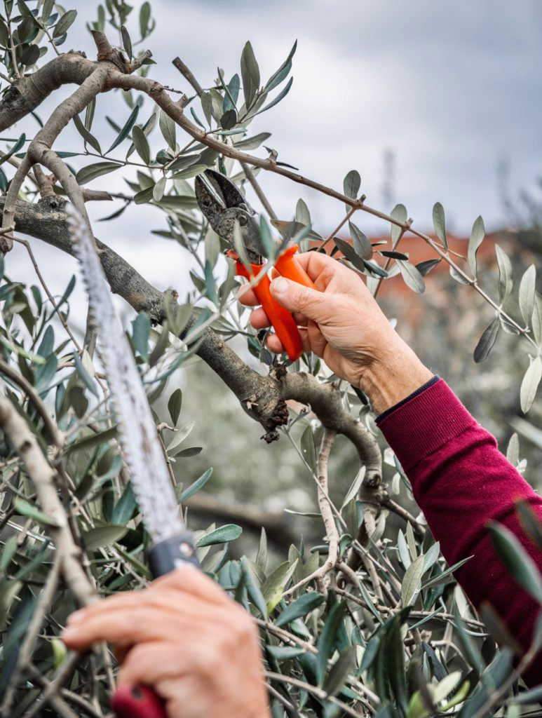 A hand with shears pruning the branches of the olive tree