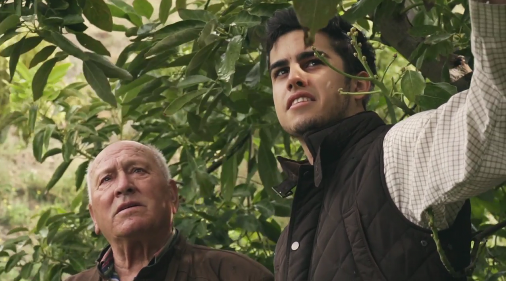 Two men among the leaves of avocado trees
