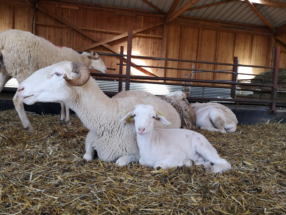 A sheep and a lamb lying on the straw