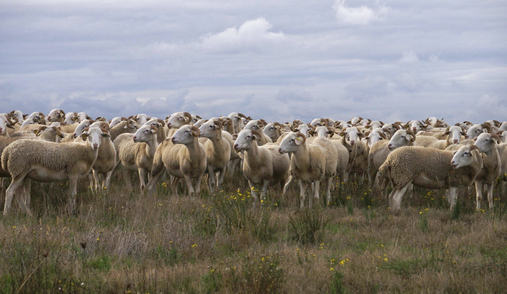 Des brebis dans un champs
