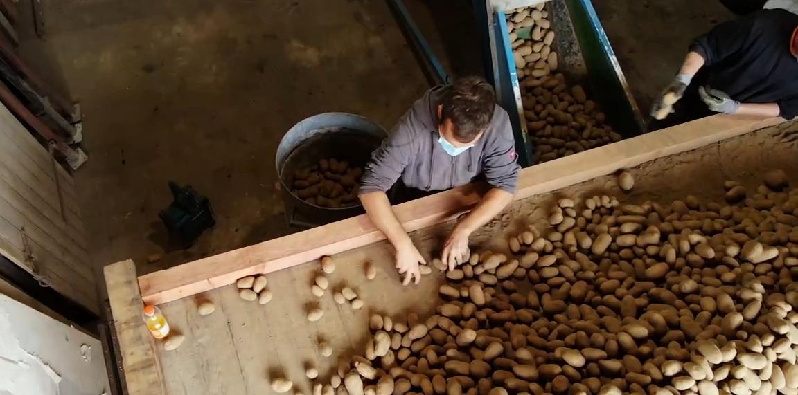 Ein Landwirt beim Sortieren der Kartoffeln