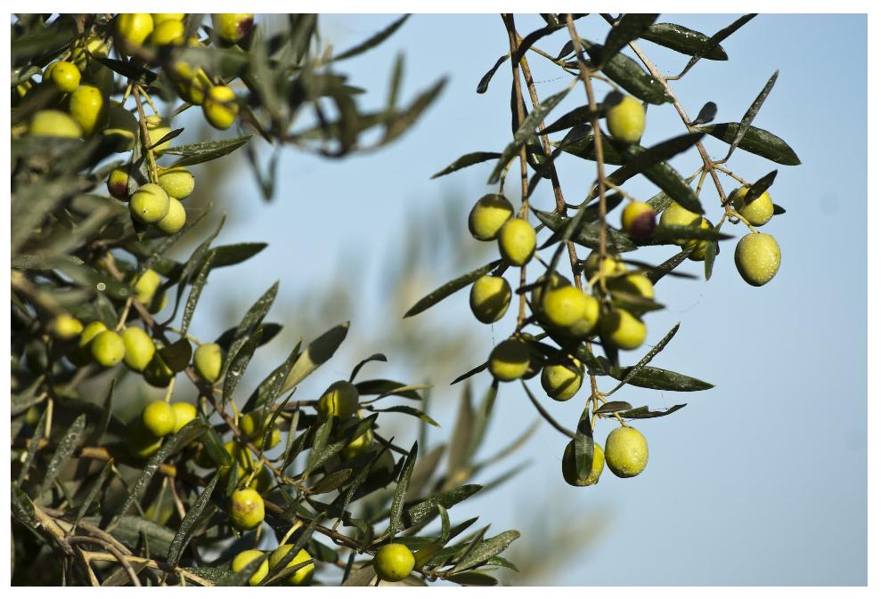 Grüne Oliven an einem Olivenzweig