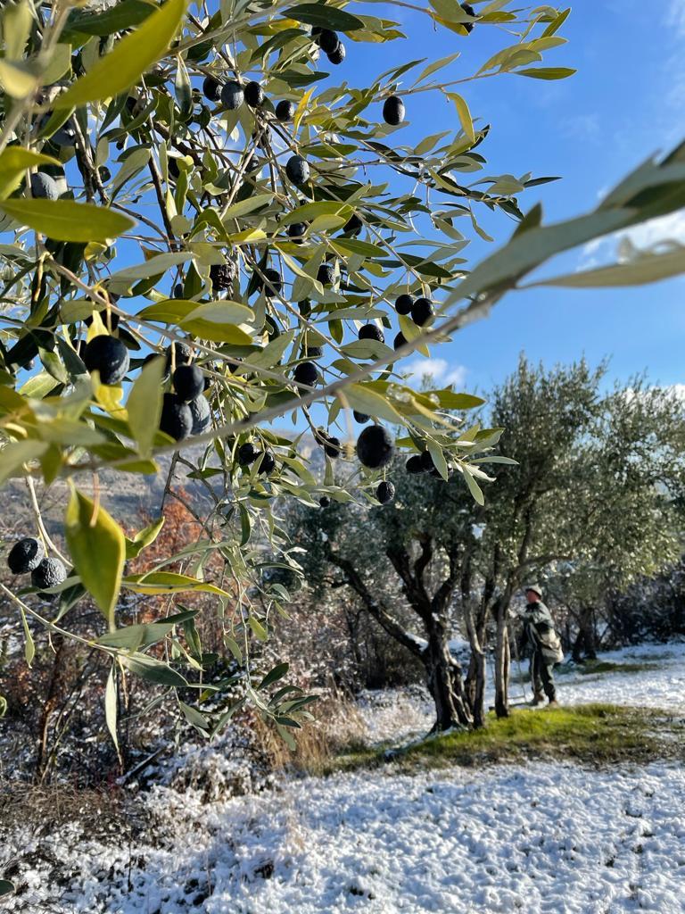 Schwarze Oliven auf einem Olivenbaum mit schneebedecktem Boden