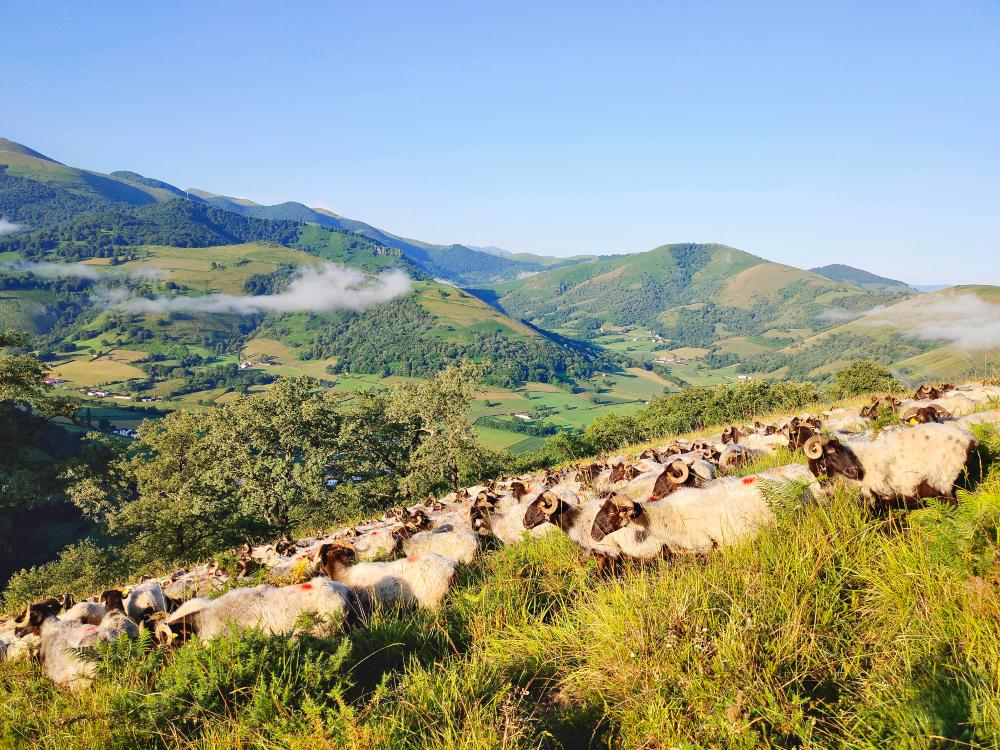 Schafe auf einem Feld mit Bergen im Hintergrund